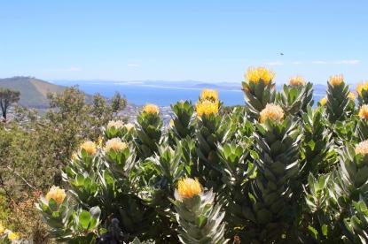 Capetown Flora1