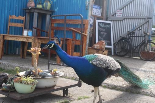 Capetown Mosselbaai Peacock2