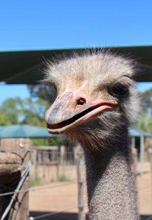 Capetown Ostrich