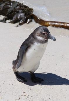 Capetown Penguin