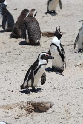 Capetown Penguins