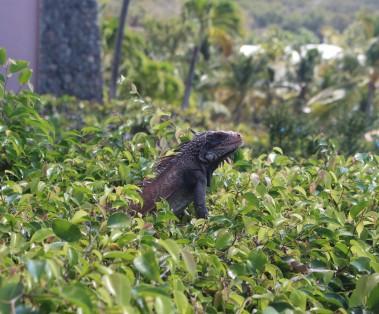 Carib USVI Iguana