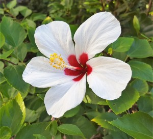 Color Hibiscus White