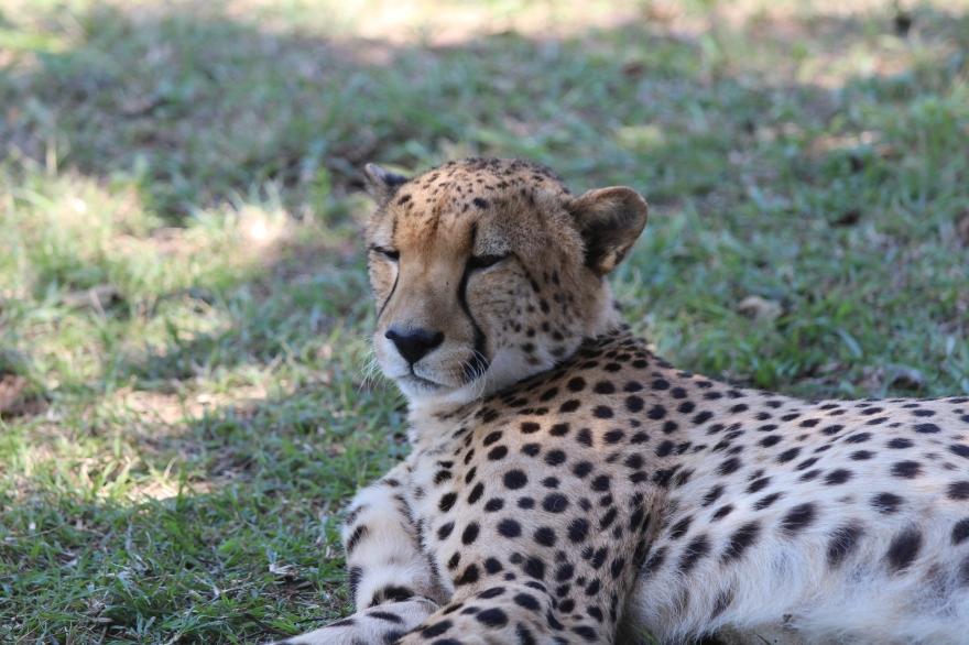 Durban Cheetah