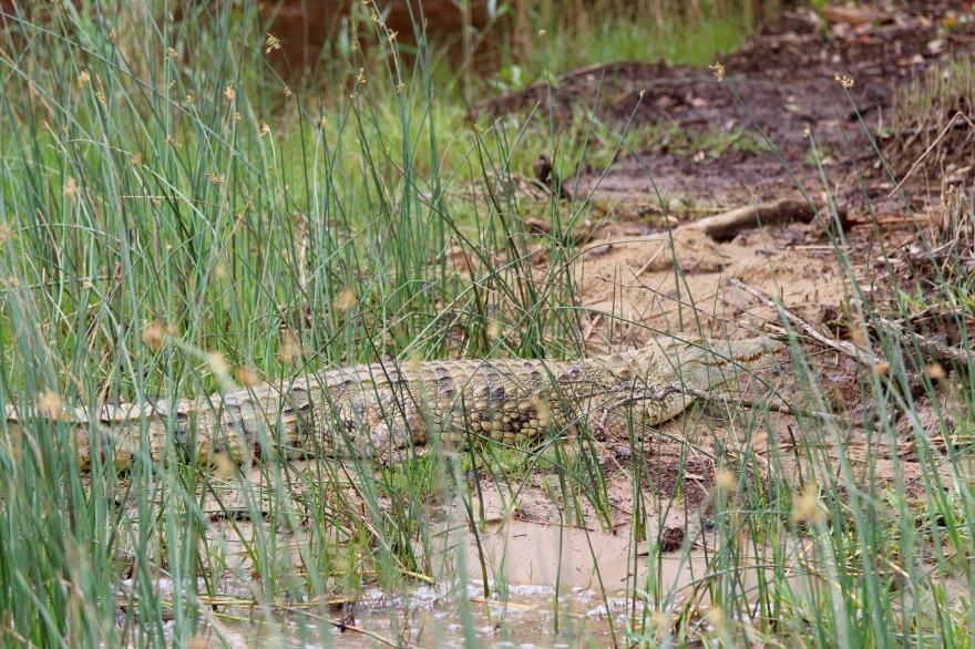 Durban Croc
