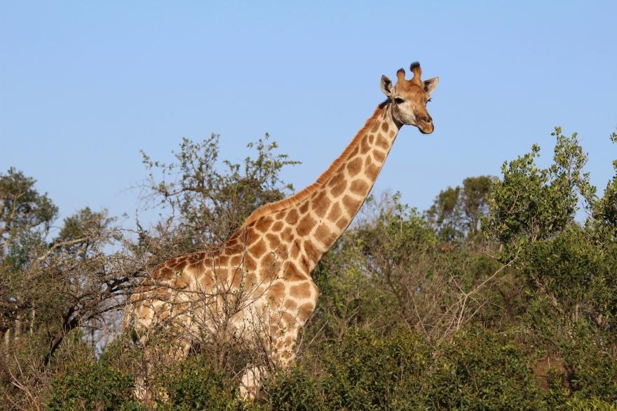 Durban Giraffe