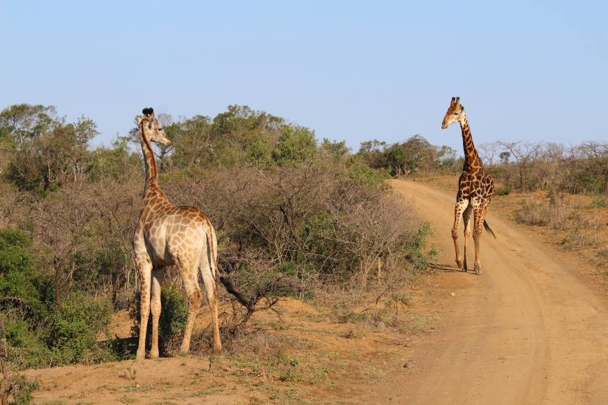 Durban Giraffes