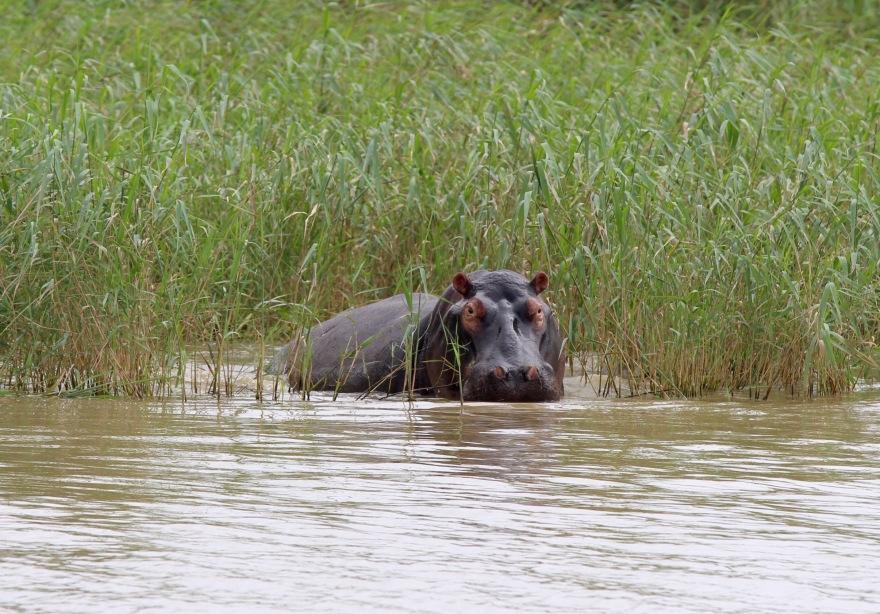 Durban Hippo1