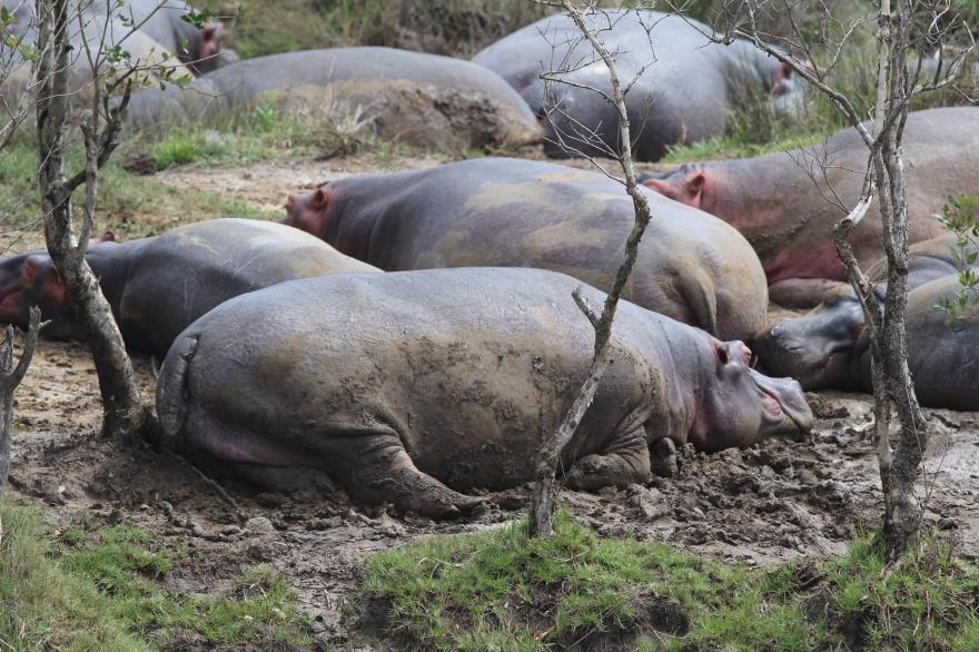 Durban Hippos2