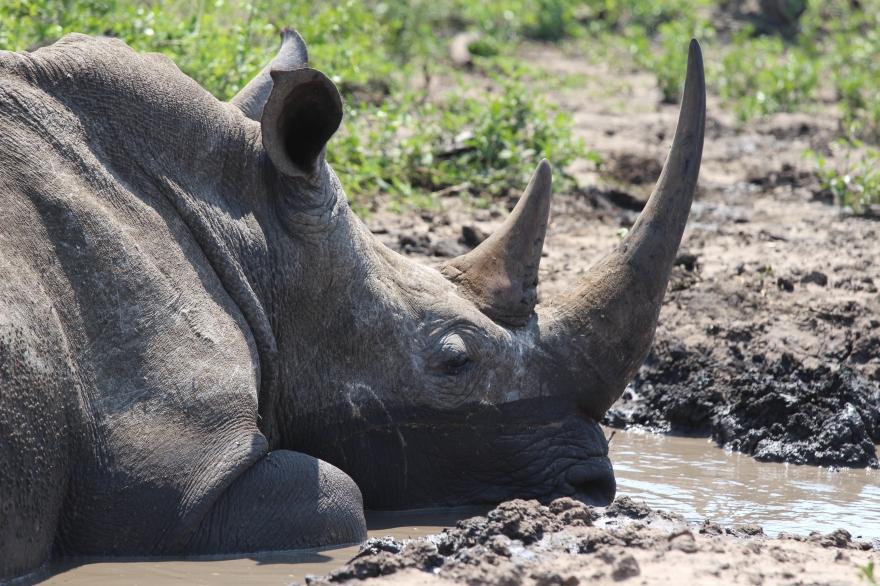 Durban Rhino3