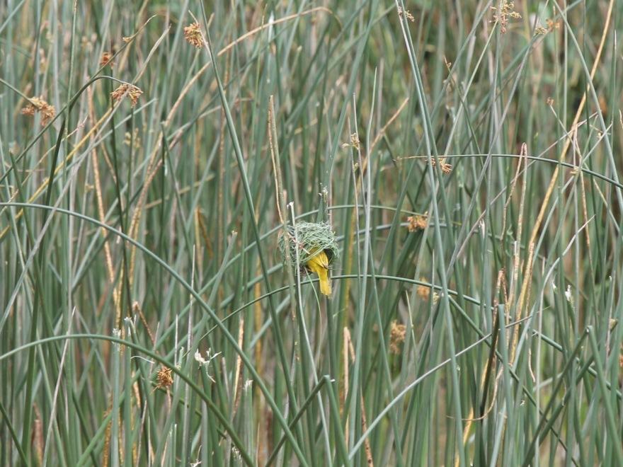 Durban Weaver Bird