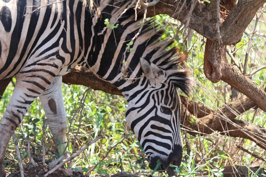Durban Zebra