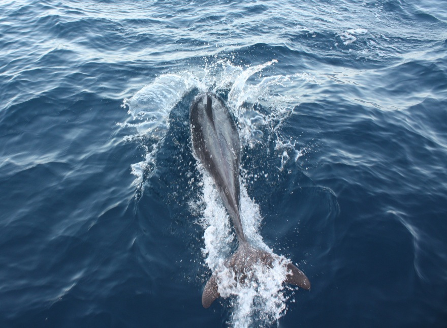 Galap Dolphin2 BIG
