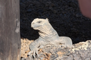 Galap Iguana3 BIG