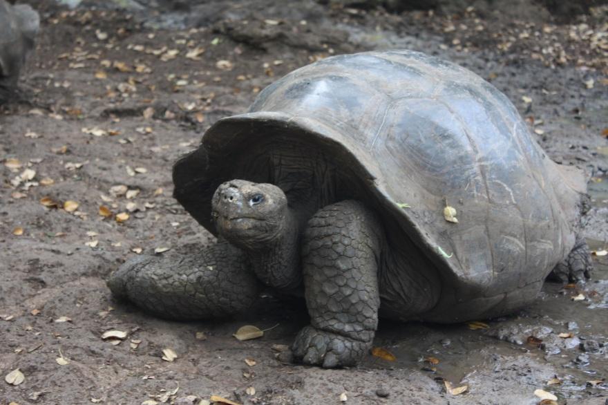 Galap Tortuga1 BIG