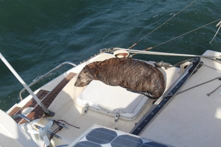 Namibia Cape Fur Seal2