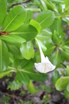 Niue Flower