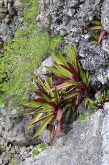Niue Plant