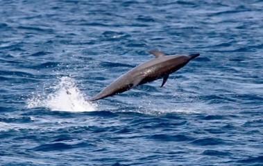 South Atlantic Fernando DolphinY