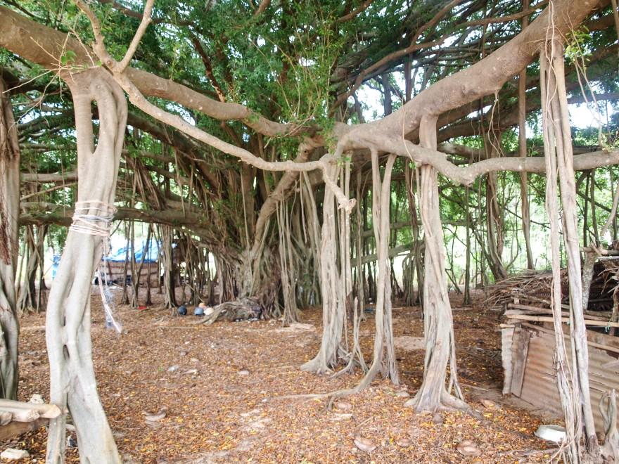 Tonga Banyan Tree