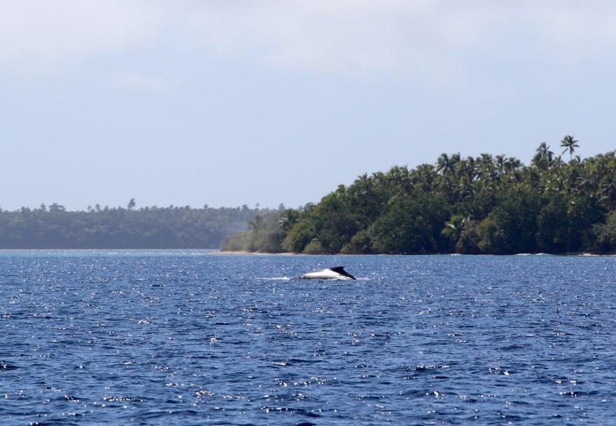 Tonga Whale